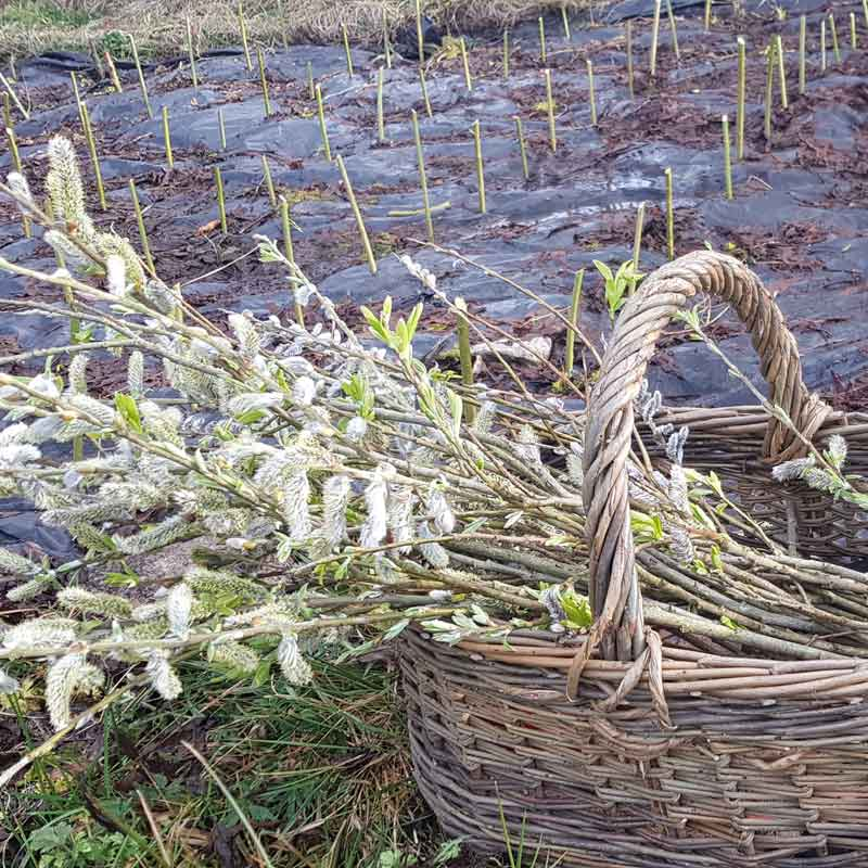 saille willow baskets